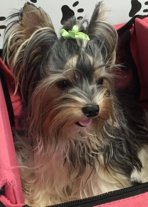 yorkie coloring pages akc - photo#13